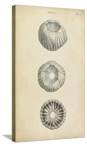 Cylindrical Shells I-Wood-Stretched Canvas Print
