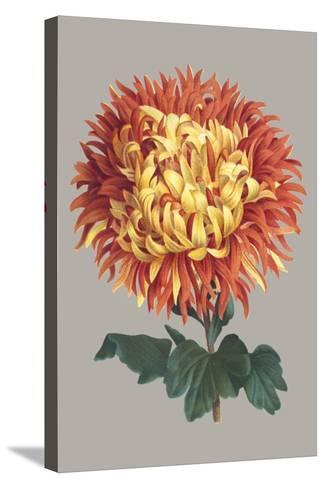 Chrysanthemum on Gray I-Vision Studio-Stretched Canvas Print