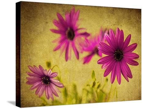 Fuchsia Daisy II-Honey Malek-Stretched Canvas Print