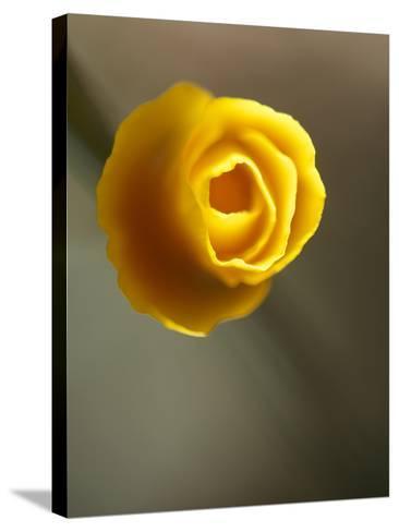California Poppy II-Jonathan Nourock-Stretched Canvas Print