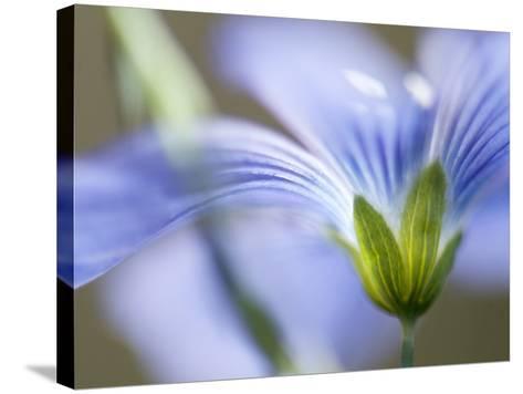 Blue Flax I-Jonathan Nourock-Stretched Canvas Print
