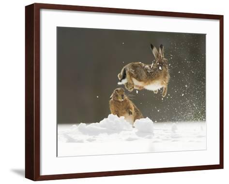 Brown Hare (Lepus Europaeus) Adult Female (Mid-Air) Leaping Out of Her Form in Snow-Andrew Parkinson-Framed Art Print