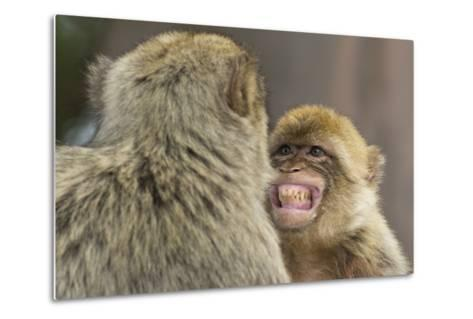 Barbary Macaque (Macaca Sylvanus) Baring Teeth as a Sign of Submission-Edwin Giesbers-Metal Print