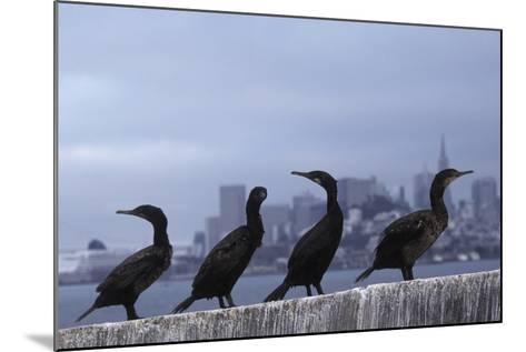 Brandt's Cormorant (Phalacrocorax Penicillatus) with the City of San Francisco in Background-Suzi Eszterhas-Mounted Photographic Print
