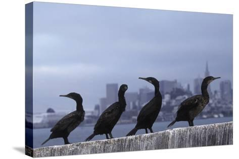 Brandt's Cormorant (Phalacrocorax Penicillatus) with the City of San Francisco in Background-Suzi Eszterhas-Stretched Canvas Print