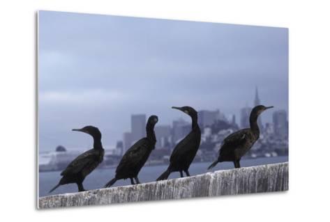 Brandt's Cormorant (Phalacrocorax Penicillatus) with the City of San Francisco in Background-Suzi Eszterhas-Metal Print