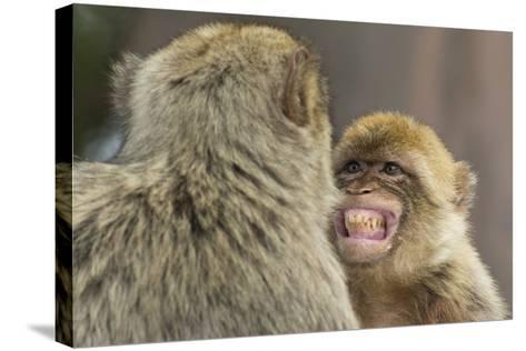Barbary Macaque (Macaca Sylvanus) Baring Teeth as a Sign of Submission-Edwin Giesbers-Stretched Canvas Print