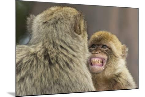 Barbary Macaque (Macaca Sylvanus) Baring Teeth as a Sign of Submission-Edwin Giesbers-Mounted Photographic Print