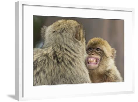 Barbary Macaque (Macaca Sylvanus) Baring Teeth as a Sign of Submission-Edwin Giesbers-Framed Art Print