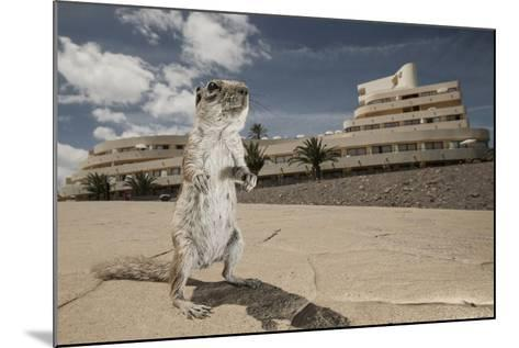 Barbary Ground Squirrel (Atlantoxerus Getulus) Outside Hotel-Sam Hobson-Mounted Photographic Print