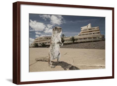 Barbary Ground Squirrel (Atlantoxerus Getulus) Outside Hotel-Sam Hobson-Framed Art Print