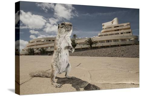 Barbary Ground Squirrel (Atlantoxerus Getulus) Outside Hotel-Sam Hobson-Stretched Canvas Print