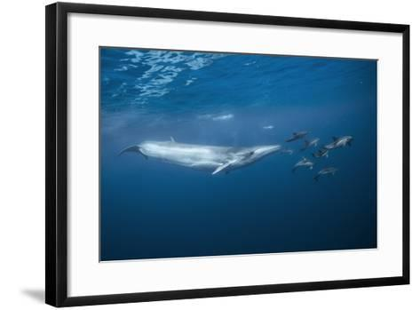 Bryde's Whale (Balaenoptera Edeni) and Common Dolphins (Delphinus Delphis)-Jordi Chias-Framed Art Print