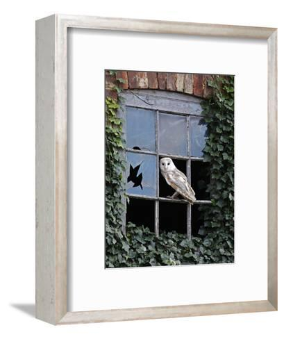 Barn Owl Sitting in Old Farm Window, Tyto Alba, Norfolk-Paul Hobson-Framed Art Print