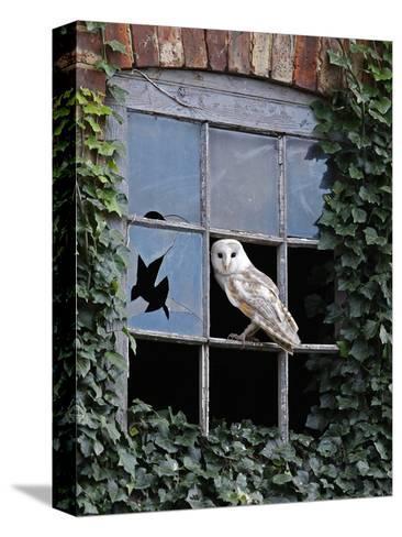 Barn Owl Sitting in Old Farm Window, Tyto Alba, Norfolk-Paul Hobson-Stretched Canvas Print