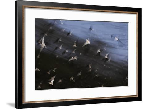 Bats (Several Species) Emerge from a Cave at Dusk. Calakmul Biosphere Reserve, Yucatan, Mexico-Kevin Schafer-Framed Art Print