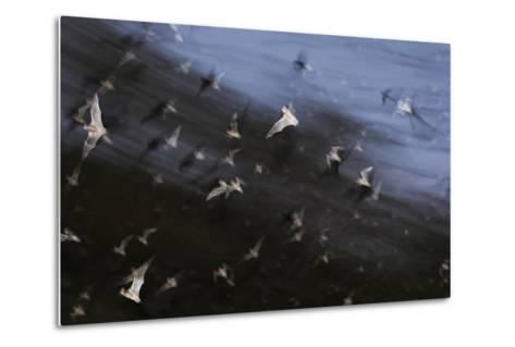 Bats (Several Species) Emerge from a Cave at Dusk. Calakmul Biosphere Reserve, Yucatan, Mexico-Kevin Schafer-Metal Print