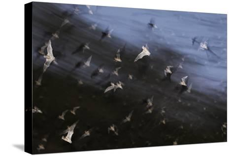 Bats (Several Species) Emerge from a Cave at Dusk. Calakmul Biosphere Reserve, Yucatan, Mexico-Kevin Schafer-Stretched Canvas Print