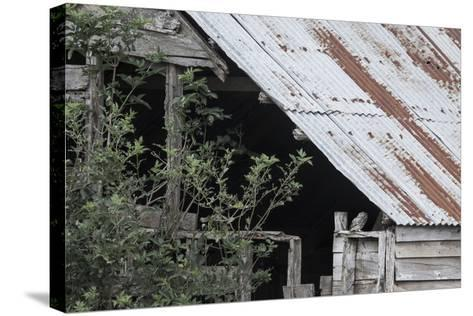 Adult Little Owl (Athene Noctua) Peering Out from an Old Barn-Brent Stephenson-Stretched Canvas Print