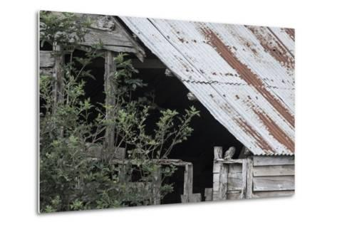 Adult Little Owl (Athene Noctua) Peering Out from an Old Barn-Brent Stephenson-Metal Print