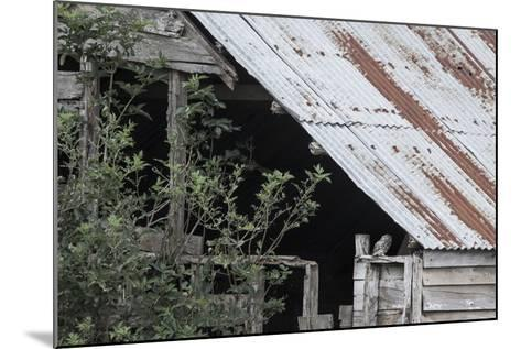 Adult Little Owl (Athene Noctua) Peering Out from an Old Barn-Brent Stephenson-Mounted Photographic Print