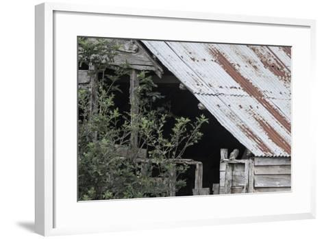 Adult Little Owl (Athene Noctua) Peering Out from an Old Barn-Brent Stephenson-Framed Art Print