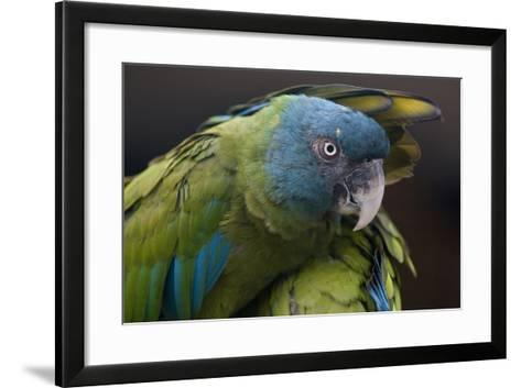 Blue Headed Macaw (Primolius Couloni) One Stretching its Wing over Another-Edwin Giesbers-Framed Art Print