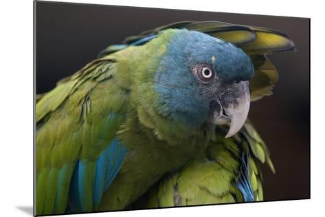 Blue Headed Macaw (Primolius Couloni) One Stretching its Wing over Another-Edwin Giesbers-Mounted Photographic Print