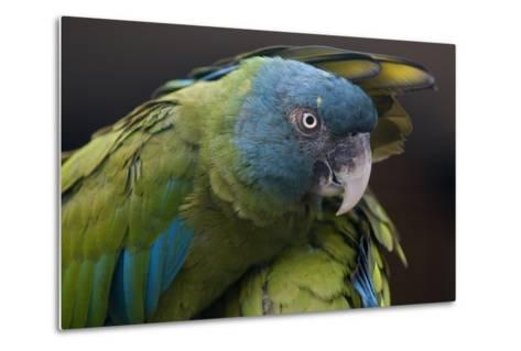 Blue Headed Macaw (Primolius Couloni) One Stretching its Wing over Another-Edwin Giesbers-Metal Print