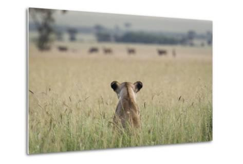 African Lioness (Panthera Leo) Sitting Patiently in the Long Grass-Cheryl-Samantha Owen-Metal Print
