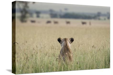 African Lioness (Panthera Leo) Sitting Patiently in the Long Grass-Cheryl-Samantha Owen-Stretched Canvas Print