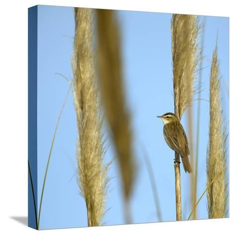 Aquatic Warbler (Acrocephalus Schoenobaenus) Breton Marsh, Vendee, France, May-Loic Poidevin-Stretched Canvas Print