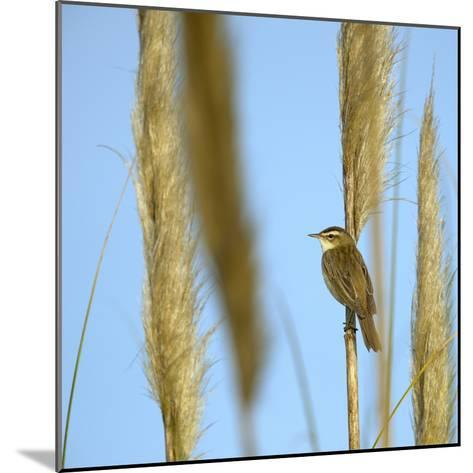 Aquatic Warbler (Acrocephalus Schoenobaenus) Breton Marsh, Vendee, France, May-Loic Poidevin-Mounted Photographic Print