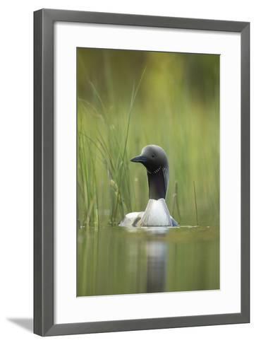 Black-Throated Diver (Gavia Arctica), Finland, June-Danny Green-Framed Art Print