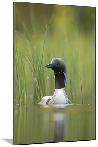 Black-Throated Diver (Gavia Arctica), Finland, June-Danny Green-Mounted Photographic Print