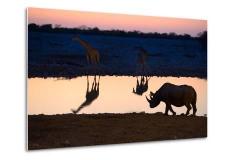 Angolan Giraffes (Giraffa Camelopardalis Angolensis) and Black Rhinoceros (Diceros Bicornis)-Eric Baccega-Metal Print