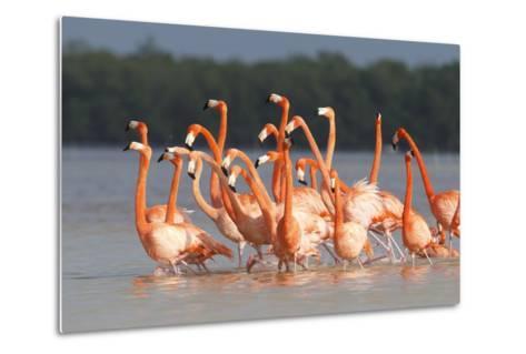 American Flamingos (Phoenicopterus Ruber) Perform Elaborate Marchlike Courtship Displays-Gerrit Vyn-Metal Print