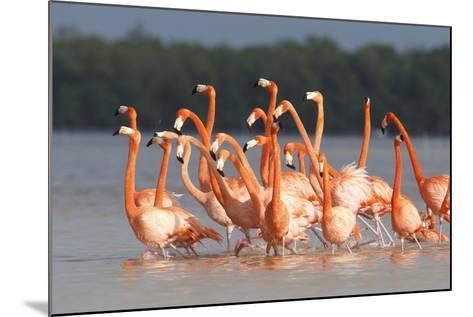 American Flamingos (Phoenicopterus Ruber) Perform Elaborate Marchlike Courtship Displays-Gerrit Vyn-Mounted Photographic Print