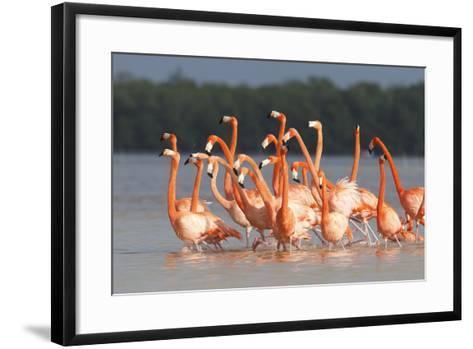 American Flamingos (Phoenicopterus Ruber) Perform Elaborate Marchlike Courtship Displays-Gerrit Vyn-Framed Art Print