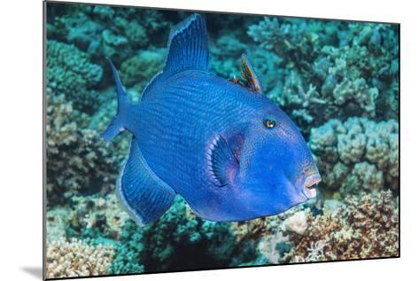 Blue Triggerfish (Pseudobalistes Fuscus). Egypt, Red Sea. Indo-Pacific-Georgette Douwma-Mounted Photographic Print