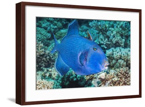 Blue Triggerfish (Pseudobalistes Fuscus). Egypt, Red Sea. Indo-Pacific-Georgette Douwma-Framed Art Print