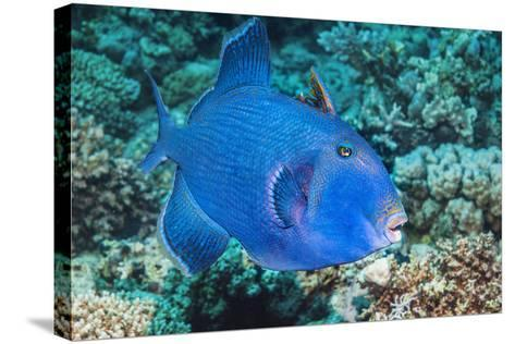 Blue Triggerfish (Pseudobalistes Fuscus). Egypt, Red Sea. Indo-Pacific-Georgette Douwma-Stretched Canvas Print