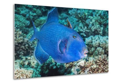 Blue Triggerfish (Pseudobalistes Fuscus). Egypt, Red Sea. Indo-Pacific-Georgette Douwma-Metal Print