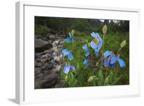 Blue Poppy (Meconopsis Betonicifolia)-Dong Lei-Framed Art Print