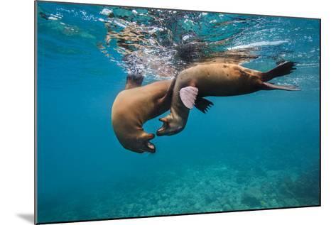 Galapagos Sea Lions (Zalophus Wollebaeki) Young Playing in Shallow Water-Alex Mustard-Mounted Photographic Print