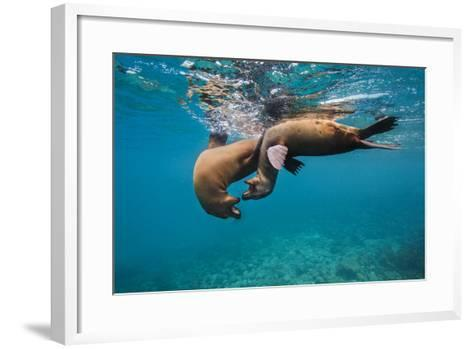 Galapagos Sea Lions (Zalophus Wollebaeki) Young Playing in Shallow Water-Alex Mustard-Framed Art Print