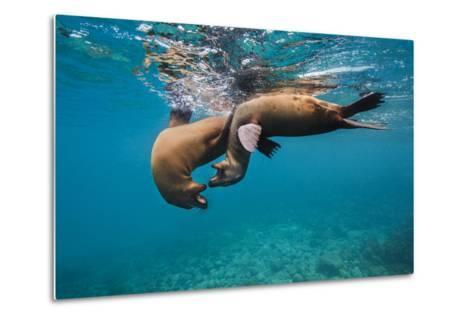 Galapagos Sea Lions (Zalophus Wollebaeki) Young Playing in Shallow Water-Alex Mustard-Metal Print