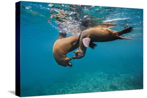 Galapagos Sea Lions (Zalophus Wollebaeki) Young Playing in Shallow Water-Alex Mustard-Stretched Canvas Print