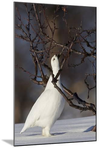 Willow Grouse - Ptarmigan (Lagopus Lagopus) Pecking Twig, Utsjoki, Finland, April-Markus Varesvuo-Mounted Photographic Print