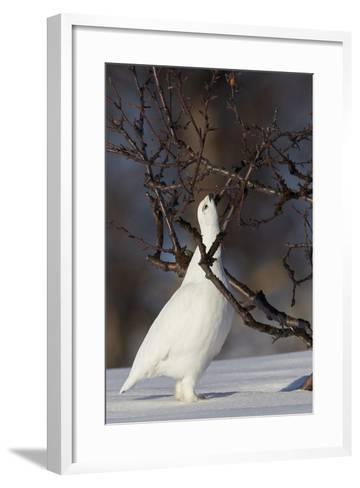 Willow Grouse - Ptarmigan (Lagopus Lagopus) Pecking Twig, Utsjoki, Finland, April-Markus Varesvuo-Framed Art Print
